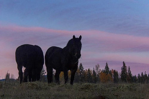 Queen and Justice enjoying their dinner at the end of a beautiful Fall day on the ranch.  #wpguestranch #duderanch #guestranch #drafthorse #percheron #ranchhorse #travel #exploreidaho #explore #adventuretravel #sunset #fall #destinationidaho #visitidaho #
