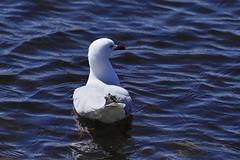 Silver Gull (Blue Mtns. bush girl) Tags: st kilda pier port phillip bay victoria australia silvergull