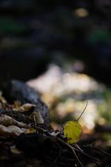 Oct2016 South Mtn State Park 15 (furrycelt) Tags: jacobsforkriver jacobsfork nikon85mmf14afd nikon85mmf14 northcarolina southmountainstatepark southmountains ianwilson jianwilson photographersoftumblr 85mm d600 nc nikon october autumn fall forest furrycelt leaves lensblr natural nature river rocks sunlight trees water woods