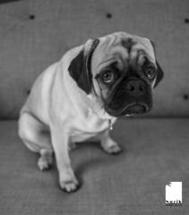 NEIL5016 (nuzik - http://nuzik.photography) Tags: dog puppy pug nelson bw blackwhite family love fuji nuzik