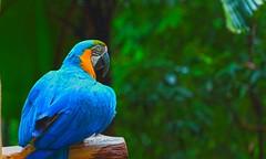come to the front side man 😤😀 (Rajavelu1) Tags: birds parrot blue nature beautyofnature travel art artland aroundtheworld creative canon6d jurongbirdspark singapore birdsanctuary birdphotography outdoorphotography ou simplysuperb