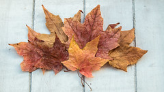 Dried Out (Sara@Shotley) Tags: leaves autumn dried rust colours acers