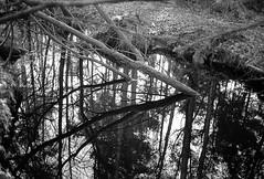 Reflection (40Cron) Tags: delamere forrest yashica 35mm electro 35cc ilford ilfosol hp5 monochrome black white winter uk england nature tree reflection