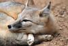 Sly as a Fox (Hedi-Alana) Tags: fox nature natures houston houstonzoo animals animal mammal cute beautiful beauty