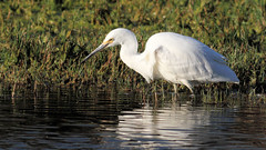 Little Egret fishing (cosmos38 - the real one) Tags: birds egrets littleegret egrettagarzetta westernaustralia herdsmanlakeherdsman