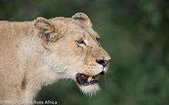 Lioness (m.taylor@avesafrica) Tags: africa african africananimal africanmammal africanwildlife animal botswana carnivore colourimage fauna image kwazulunatal limpopo mammal mpumalanga namibia nature northerncape photo photography predator reddata redlist southafrica southafricannationalpark threatenedspecies wildlife zimbabwe zululand