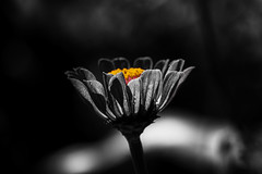 Selected Color (Klaus Ficker thanks for + 2.000.000 views.) Tags: bw color selectcolor photoshop flower kentuckyphotography klausficker usa kentucky canon eos5dmarkii