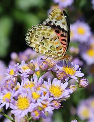Butterfly near Tsukimiya (Geoff Buck) Tags: japan butterfly fritillary insect nakasendo paintedlady