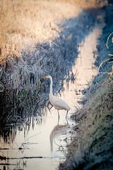 Duivense Broek (Arnold van Wijk) Tags: landschap landscape winter frozen gelderland duiven nederland netherlands polder weiland animal dieren bird vogel reiger zilverreiger