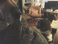 340/366 (moke076) Tags: 2016 365 366 project366 project 365project project365 oneaday photoaday vsco vscocam cell cellphone iphone mobile dog dogs animal pet moose great dane mutt maggie living room blanket falcon chair vintage midcentury mid century modern persian rug