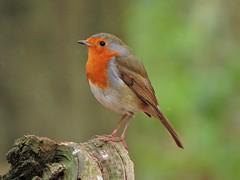 Robin (PhotoLoonie) Tags: robin britishbird bird wildbird gardenbird ukgardenbird ukbird britishwildlife wildlife nature