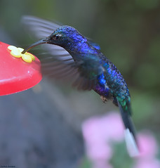 Blue Hummingbird. (Carlos Arriero) Tags: blue azul colibr ave pjaro selvatura costarica monteverde nature naturaleza neogeo vidaanimal bird nikon d800e 105mm dof bokeh carlosarriero hummingbird natgeo outdoor amrica