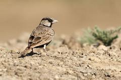 Ashy-crowned Sparrow-lark ♂ Eremopterix griseus (Roger Wasley) Tags: ashy crowned sparrow lark eremopterix griseus bird velavadar national park gujarat india indian birds finch black bellied