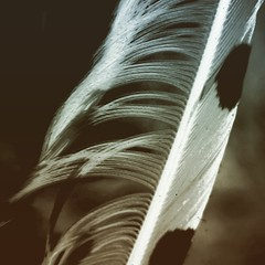 feathery (LauraSorrells) Tags: feather