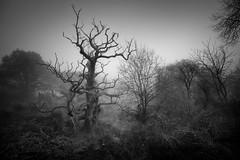 Wilderness (aveyardphotography) Tags: branches bush cold dark dense eerie foggy forest ghostly hills howardian lost misty moody nature old reserve skeleton spooky tree unknown wilderness