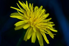 The Ant And The Dandelion (PaoloCristina) Tags: flower color yellow ant dandelion macro winter liguria nikon d7200