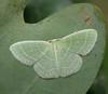 Wavy-lined Emerald on Oak (Bonnie Ott) Tags: moth synchloraaerata wavylinedemerald bonniecoatesott nationalmothweek
