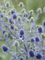 Petits bleus piquants ***-- °-° (Titole) Tags: chardons bleu thorny titole nicolefaton thistles friendlychallenges thechallengefactory challengeyouwinner cyunanimous