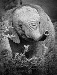 Baby Elephant (DickieK) Tags: africa wild blackandwhite baby elephant cute nature animal southafrica mammal wildlife dumbo ears safari trunk nellie calf topaz loxodonta shamwari topazblackandwhiteeffects