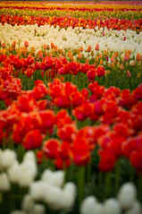 Sunny Colors (ahockley) Tags: flowers plants oregon tulips tulipfestival woodburn woodenshoetulipfestival