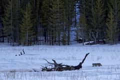 Bobcat (wietsej) Tags: yellowstone nationalpark winter snow sony 70400 a77ii a77 mk2 bobcat wietsejongsma wietse jongsma