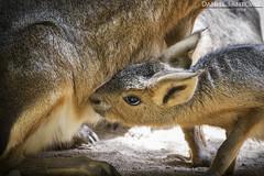 Affection (Daniel Santomé Gallego) Tags: portugal animal animals zoo hare affection animales hares cría liebre afecto liebres liebredelapatagonia zoosantoinácio