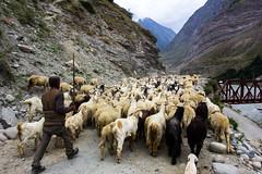 Herd of sheep and goats on Leh Manali highway (marcusfornell) Tags: india animals asia asien sheep goats himalaya herd indien himalayas himachalpradesh southasia herded keylong lahaul jispa lehmanalihighway sdasien