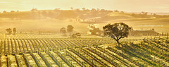 Valley of Vines (Valley Imagery) Tags: tree yellow sunrise gum sony south australia vineyards valley barossa imagery valleyimagery a77ii valleyimagerycomau