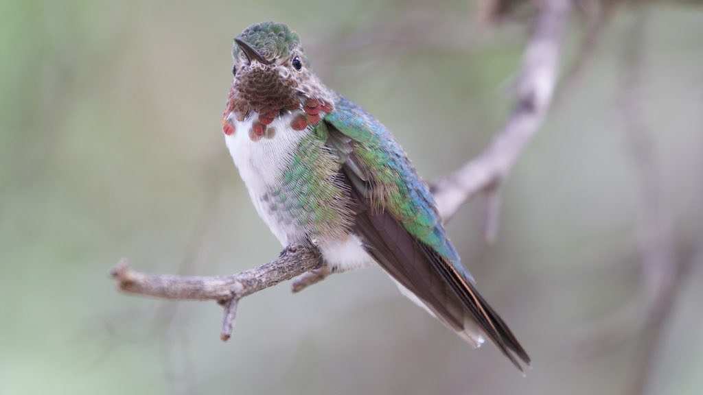 Broad-tailed Hummingbird (male) | Desert by Bettina Arrigoni, on Flickr