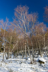 Birch forest during winter