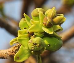 ecosystem/flora/Kumbhi(Careya arborea) (biodiversity western ghats) Tags: tree arborea lecythidaceae careya kumbhi diversityindia taxonomy:binomial=careyaarborea