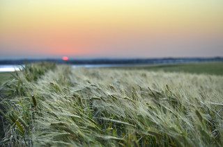 Bokeh sunset over a wheat field - Dumbleyung, Western Australia