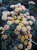 Tanacetum (irrishkas) Tags: frost tanacetum иней пижма