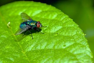Blue Bottle Fly On Green Leaf