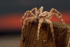 Dock Spider (Sean McCann (ibycter.com)) Tags: spider dolomedes dockspider