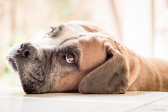 The look (Vinicius_Ldna) Tags: brazil dog pet love canon 50mm naturallight cachorro boxer nina care caress londrina 5708 luznatural