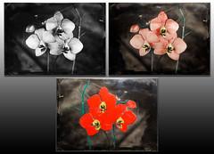 Orchidea (Nagy Krisztian) Tags: ambrotype colored orchidea