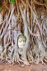 Buddha in the Tree (Mani Roos) Tags: watmahathat   phranakhonsiayutthaya wat ayutthaya unescowelterbe unsesco unescoworldheritage historicalpark thailand thai tempel temple buddha gott natur stein stone tree baum amazingthailand canoneos7dmarkii sigma1770mm28 maniroos travel autofocus