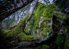 fallen tree life continues (seppala.markus) Tags: tree rock stone moss fallen