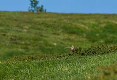 Linotte mlodieuse (JeanJoachim) Tags: bird pssaro aves fugl oiseau vogel uccello ptak fgel lintu fringillidae passeriformes  commonlinnet linottemlodieuse coldepailhres  smcpentaxda300mmf4edifsdm pentaxk5iis linariacannabina