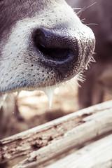 Saliva. (Markus Moning) Tags: show animal canon mouth nose eos 50mm schweiz switzerland kuh cow cattle mark swiss 14 ii 5d nase ch mund moning saliva vieh heiden viehschau schau sabber speichel markusmoning appenzellausserrhoden