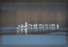 ~~~ Lake Ice Gulls - I. ~~~ (Wolverine09J ~ 1 Million + Views) Tags: birds minnesotalake ringbilledgulls spiritofphotography shieldofexcellencelevel1 level2autofocus gullsonice certifiedphotographergroup rainbowofnaturelevel1red batslair december15additions