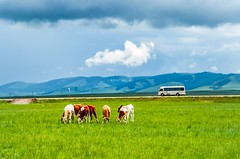 A herd of cattle on the grassland () Tags: china road blue wild summer sky mountains bus tourism nature field grass car animal clouds landscape mammal outdoors scenery day cattle cows sheep natural cloudy outdoor farm sunny calm bull pasture roads prairie suv grassland plain herd 86 grazing steppe graze yurts signaltower hebeiprovince cm9hze7dpsogh2kteokanswhbgocaj8