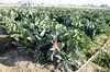 cauliflower-harvest-josue-samano-11-23-15-vit-100-class-12-01-15gt_DSC8764 (Jordan College of Ag Sciences and Technology) Tags: cauliflower josue cit samano