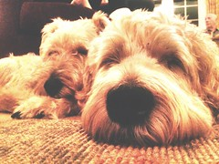 Friends (strictlybearded) Tags: life christmas friends dog dogs schnauzer terrier fox hitchin wheaton