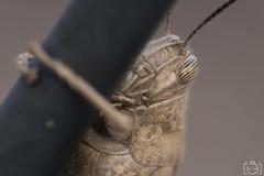 Saltamontes (Sento MM) Tags: macro alicante saltamontes marrón 105mmnikon