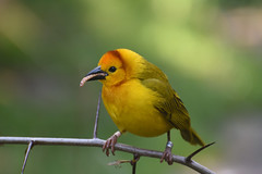 Taveta Golden Weaver (zenseas) Tags: tavetagoldenweaver weaverbird weaver ploceuscastaneiceps eating eatingagrub eatingaworm aviary savannaaviary wpz woodlandparkzoo seattle washington autumn fall phinneyridge