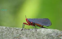 Aphaeninae / Kalidasa nigromaculata (Gray), 1832 /  (bug eye :) Thailand) Tags: aphaeninae fulgoridae macro closeup insect bug bugeye doisuthep thailand tropical oriental chiangmai green