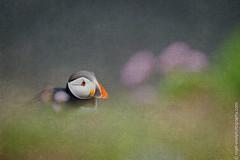 DSC_4391-2 (nigelsnell) Tags: birds puffinfraterculaarctica salteeisland bird ononesoftware photo10 textures