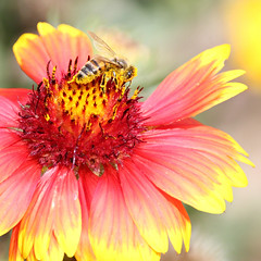 The Pollenator (Doris Burfind) Tags: bee autumn flower red yellow pollen insect nature garden norval